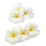 Tropische bloemenfrangipani Stock Afbeeldingen