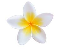 Tropische bloemenfrangipani Royalty-vrije Stock Foto's