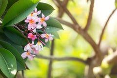 Tropische bloemfrangipani Royalty-vrije Stock Fotografie