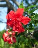Tropische bloemhibiscus Stock Afbeelding