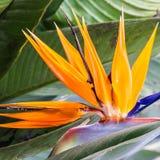 Tropische bloemstrelitzia, het eiland van Madera, Fu Stock Fotografie