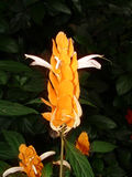 Tropische Bloesem royalty-vrije stock fotografie