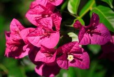 Tropische Blume Lizenzfreies Stockfoto