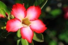 Tropische Blume Lizenzfreie Stockfotografie