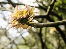 Tropische Blume Lizenzfreie Stockfotos