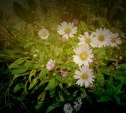 Tropische Blume der Blüte der weißen Blumen mit Stockfotos