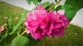 Tropische Blume in der Dominikanischen Republik lizenzfreies stockfoto