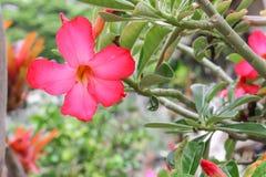 Tropische Blume der Wüstenrose auf Baum oder Impala-Lilie schönem rotem Adenium Stockfotografie