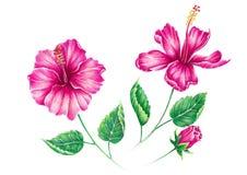 Tropische Blume des Hibiscus isollated auf weißem Hintergrund, Hand DRA Lizenzfreies Stockfoto