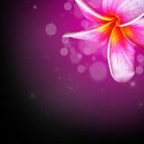 Tropische Blume des Plumeria Lizenzfreies Stockbild