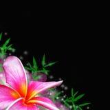 Tropische Blume des Plumeria Lizenzfreie Stockbilder