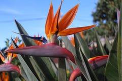 Tropische Blume des Strelitzia, Paradiesvogel lizenzfreie stockfotos