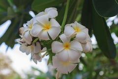 Tropische Blume des weißen Frangipani lizenzfreie stockfotografie