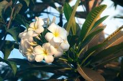 Tropische Blume des weißen Frangipani, Plumeriablume, die auf Baum, Badekurortblume blüht Stockfoto