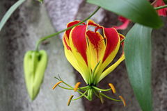 Tropische Blume Gloriosa Superba, botanischer Garten Lizenzfreie Stockfotos