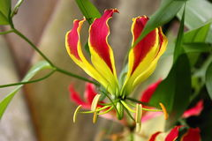 Tropische Blume Gloriosa Superba, botanischer Garten stockbilder