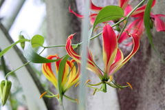 Tropische Blume Gloriosa Superba, botanischer Garten Stockfoto