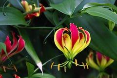 Tropische Blume Gloriosa Superba, botanischer Garten stockfotos