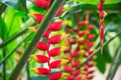 Tropische Blume Heliconia im asiatischen Park Stockfotografie