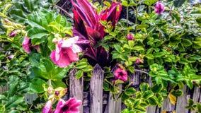 Tropische Blumen auf Zaun in Belize stockfotografie