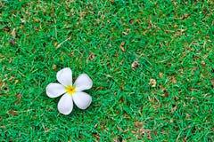 Tropische Blumen des Frangipani auf grünem Gras. Lizenzfreies Stockbild