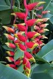 Tropische Blumen von Borneo Stockbild
