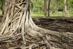 Tropische boom Stock Afbeelding