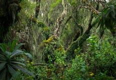 Tropische Boom in het regenwoud van Rwanda Royalty-vrije Stock Afbeeldingen