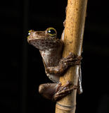 Tropische boomkikker, Osteocephalus-taurinus Stock Afbeeldingen