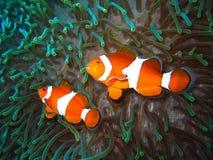 Tropische Clownfischfamilie Stockfotografie