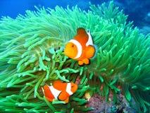 Tropische Clownfischfamilie Lizenzfreie Stockfotografie