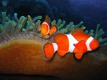Tropische Clownfischfamilie lizenzfreie stockfotos