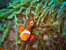 Tropische clownvissen Royalty-vrije Stock Foto
