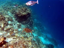 Tropische Coral Reef Aquatic Tortoise Royalty-vrije Stock Afbeeldingen
