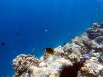 Tropische Coral Reef Fishes Royalty-vrije Stock Afbeeldingen