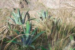 Tropische de droogtetolerantie van de agave heeft de blauwe installatie scherpe doornen Agavetequilana royalty-vrije stock afbeelding