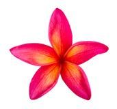 Tropische bloemenfrangipani (plumeria) Royalty-vrije Stock Afbeelding