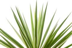 Tropische die palmbladen op wit worden geïsoleerd Stock Afbeeldingen