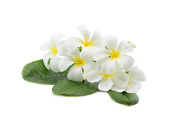 Tropische die plumeria van bloemenfrangipani op wit wordt geïsoleerd Stock Foto's