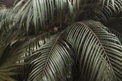 Tropische dunkelbraune Palmblätter im exotischen endlosen Sommerland Lizenzfreies Stockbild