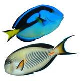 Tropische ertsadervissen Royalty-vrije Stock Afbeeldingen