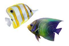 Tropische ertsadervissen Stock Fotografie