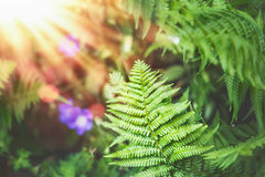 Tropische Farnblätter an der Sonnenstrahlnatur stockbild