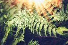 Tropische Farnblätter mit Sonnenstrahl, Natur stockfoto