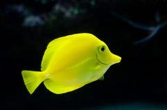 Tropische Fische lizenzfreies stockfoto