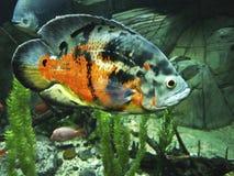 Tropische Fische Stockfotografie
