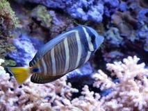 Tropische Fische Lizenzfreies Stockbild