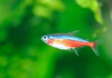 Tropische Fische Lizenzfreie Stockfotos