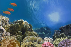 Tropische Fische auf Coral Reef im Roten Meer Stockfotografie