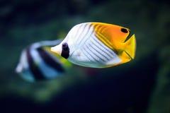 Tropische Fische auf einem Korallenriff Stockfotos
